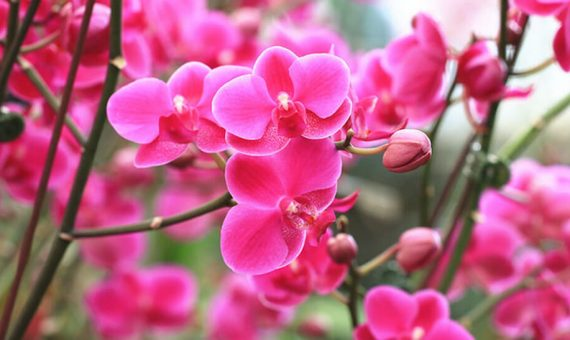 Pink orchid flowers in a garden